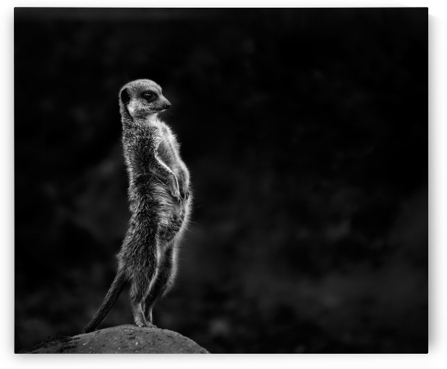 The meerkat by 1x