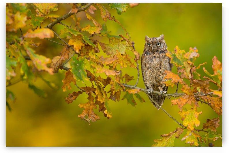 European Scops Owl by 1x
