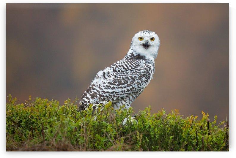 Snowy Owl by 1x