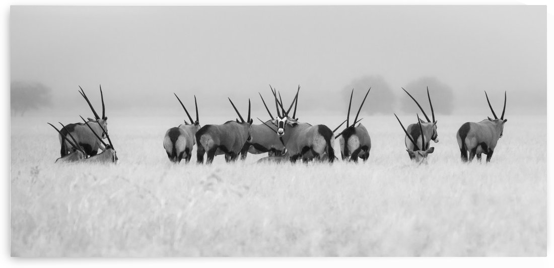 Oryx in the rain by 1x
