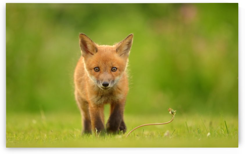 Baby Red Fox by 1x