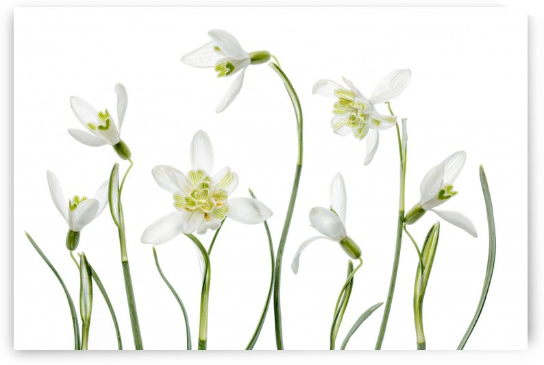 Spring Snowdrops by 1x