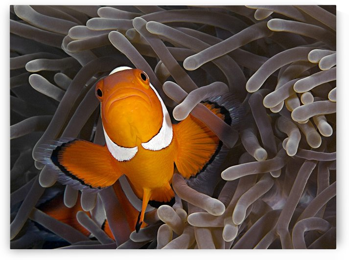 Anemonefish by 1x
