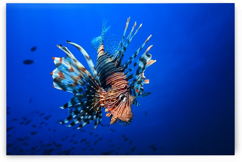 Lionfish by 1x