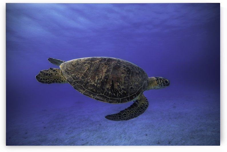 Green turtle in the blue by 1x