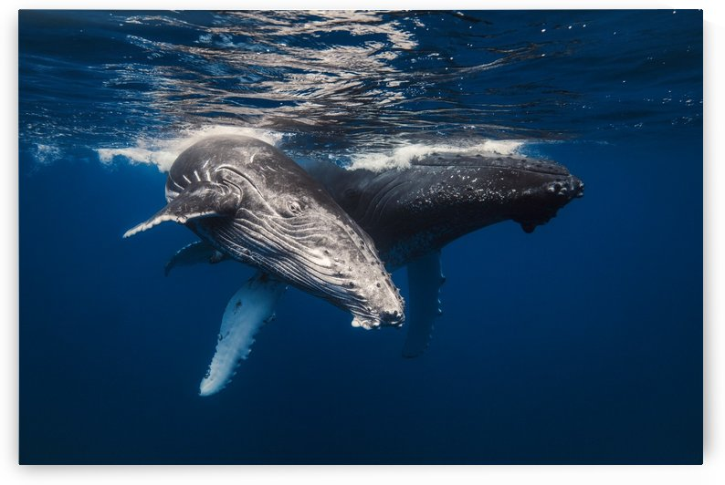 Humpback Whale family! by 1x