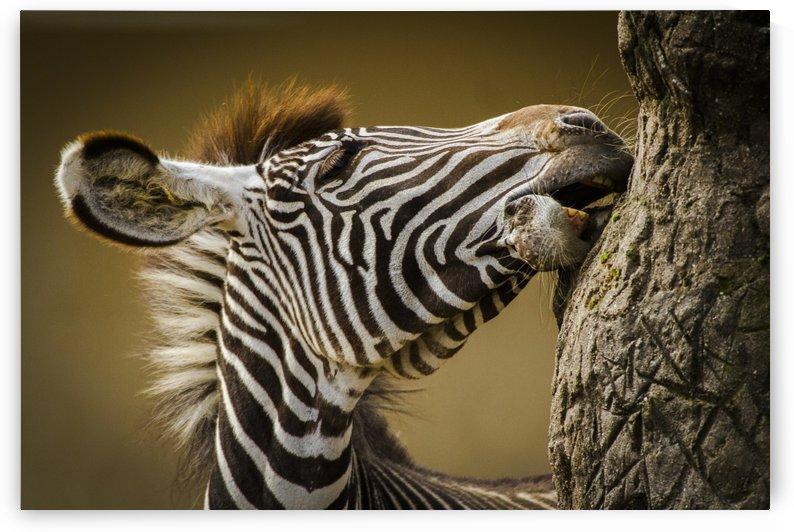 Zebra by 1x