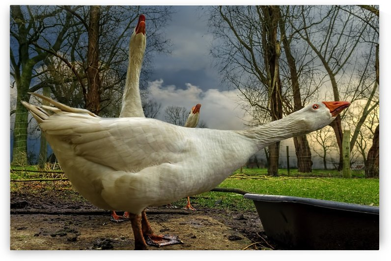 the 3 geese by 1x