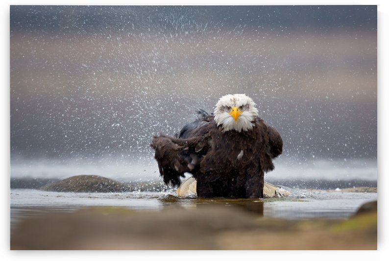 Bald Eagle by 1x