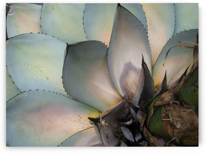 Succulents Plants Leaves Macro Fat Plants Close Up by STOCK PHOTOGRAPHY