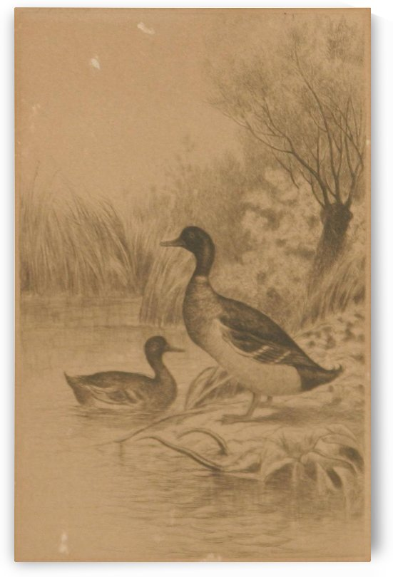 Two ducks by William de la Montagne Cary