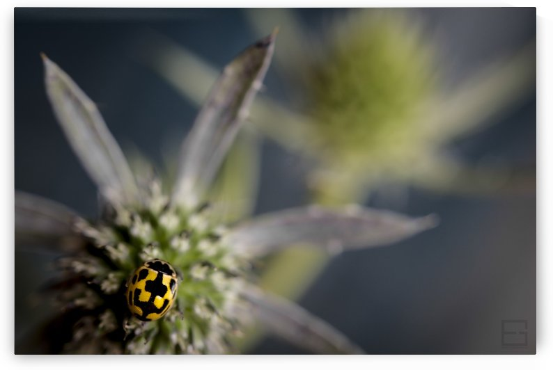 ladybug by Emilien Gass