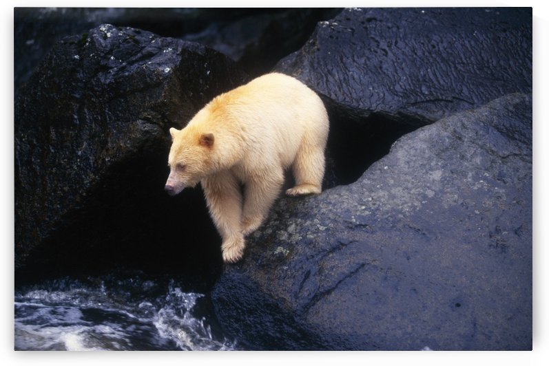 Kermode Bear On Boulder Hunting Salmon by PacificStock