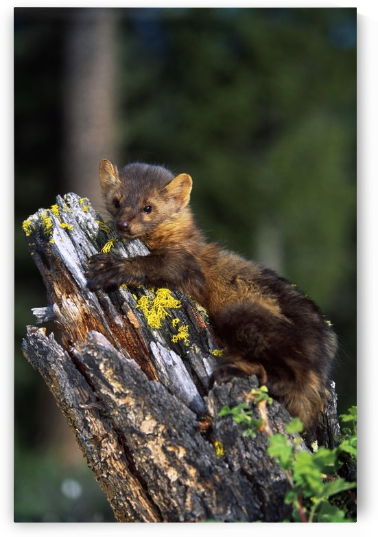 Marten (Martes Americana) On Mossy Tree Stump by PacificStock