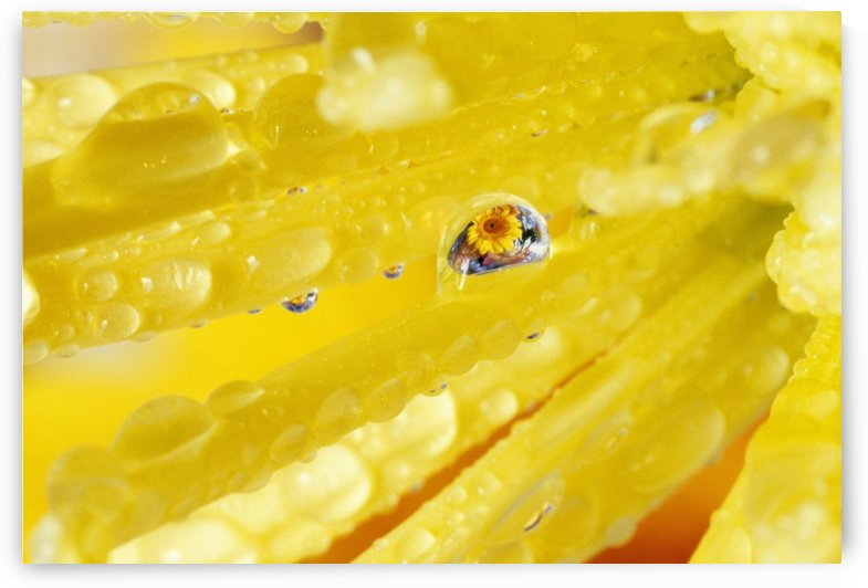 Yellow Flowers Reflected In Dew Drop by PacificStock