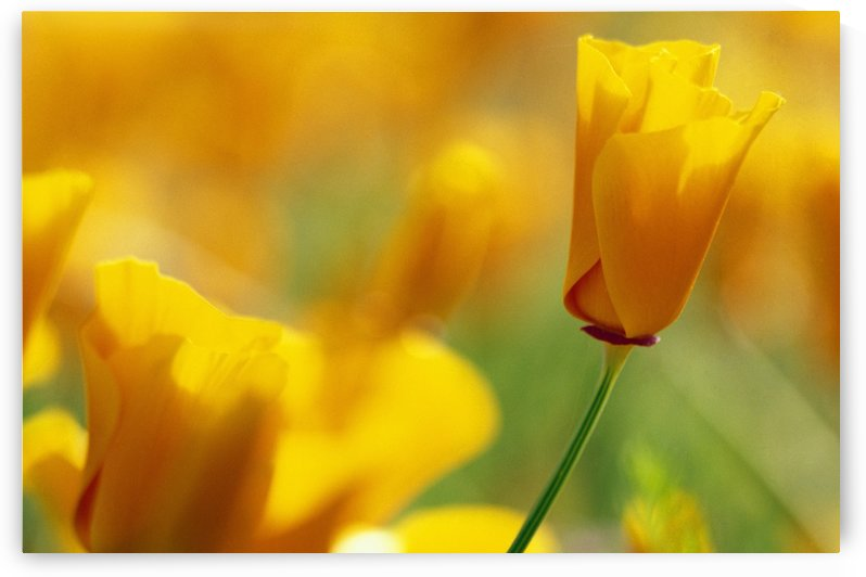 Yellow Poppy by PacificStock