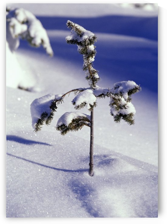 Heavy Snow On Young Pine Tree by PacificStock