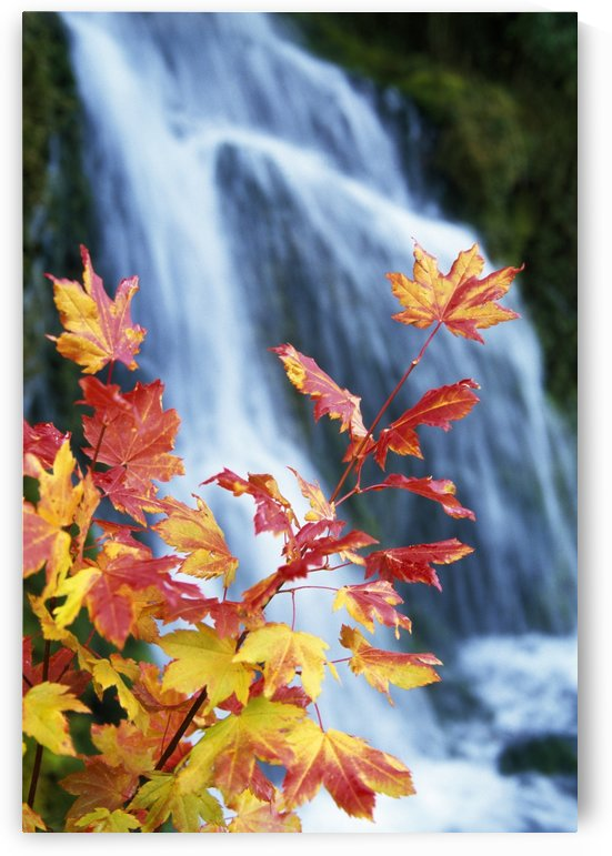 Maple Vine With Waterfall by PacificStock