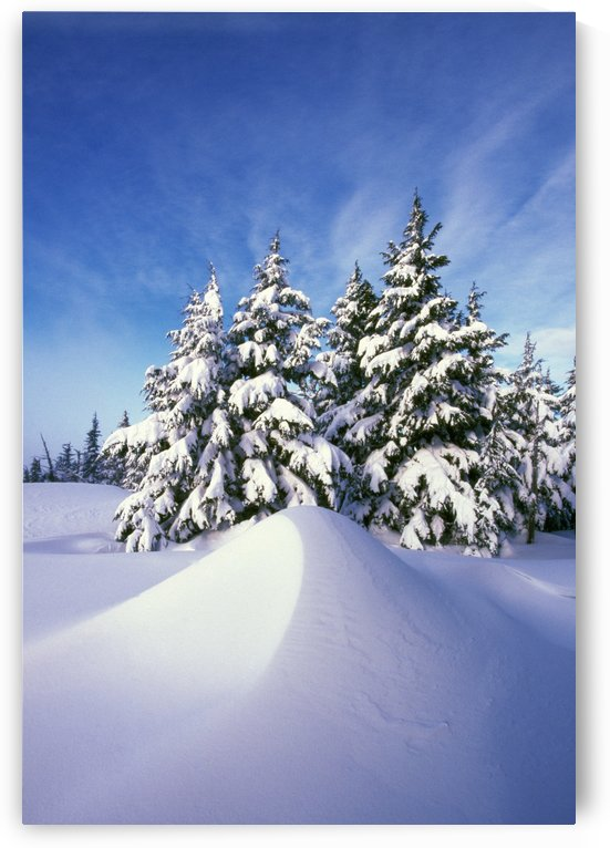 Snow-Covered Pine Trees by PacificStock
