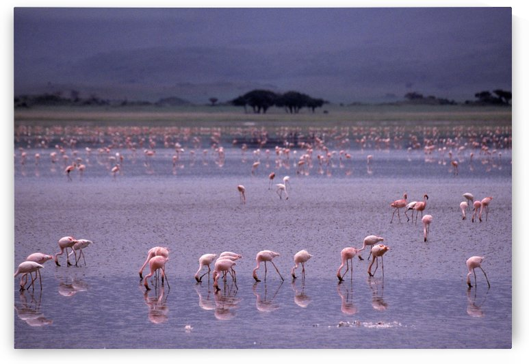 Pink Flamingos Drinking Water by PacificStock