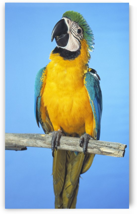 Blue-And-Gold Macaw by PacificStock