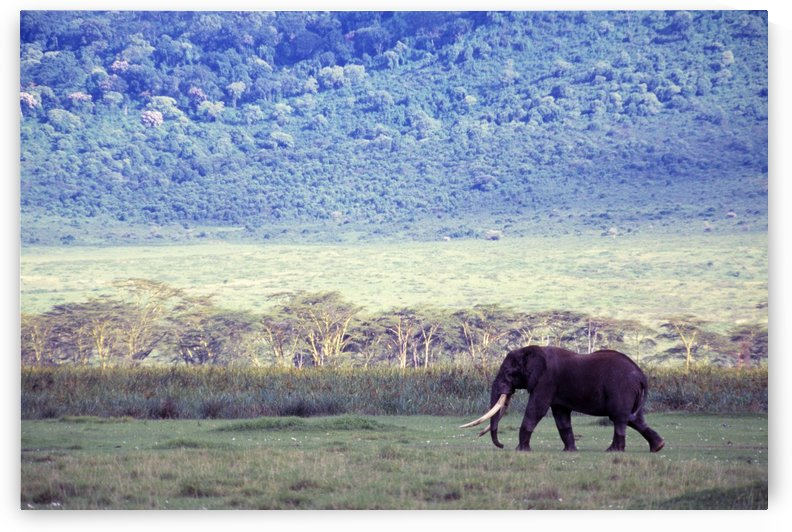 Elephant In The Wild by PacificStock