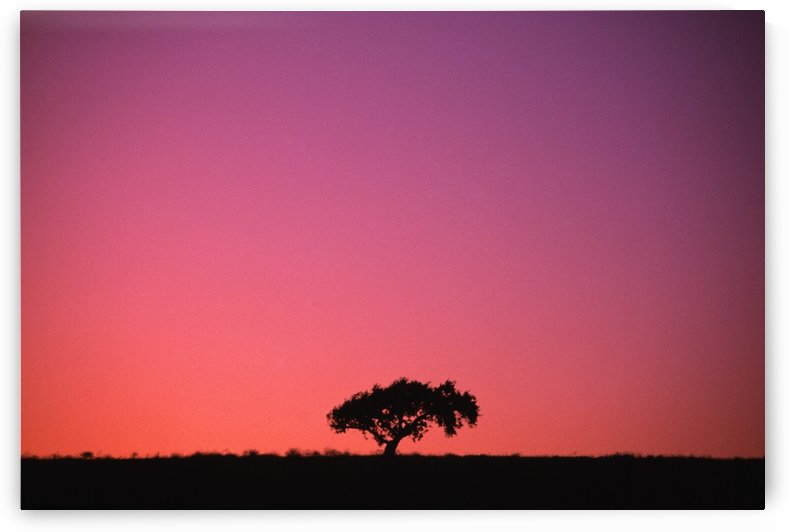 Lone Tree Backlit By Afterglow by PacificStock