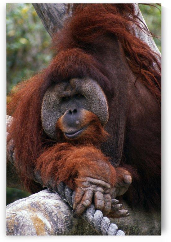 Orangutan by PacificStock