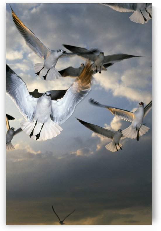 Seagulls In Flight by PacificStock