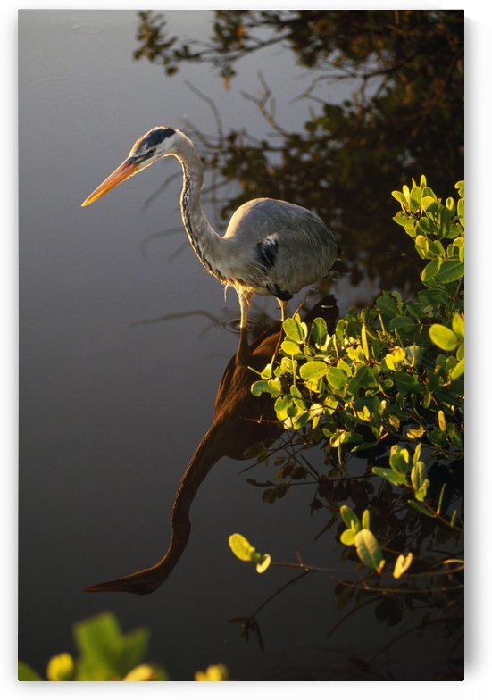 Great Blue Heron by PacificStock