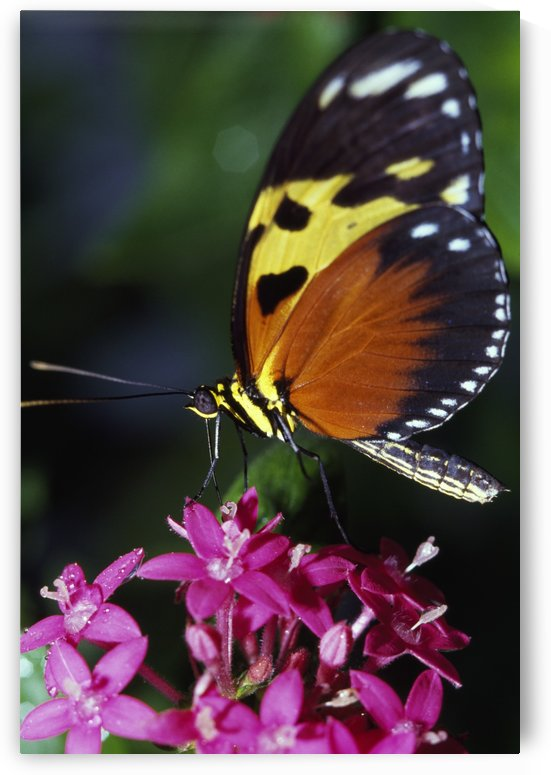 Tiger Longwing Butterfly by PacificStock