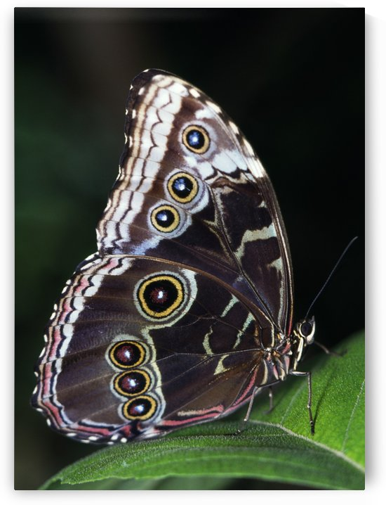 Blue Morpho Butterfly by PacificStock