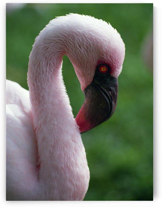Lesser Flamingo by PacificStock