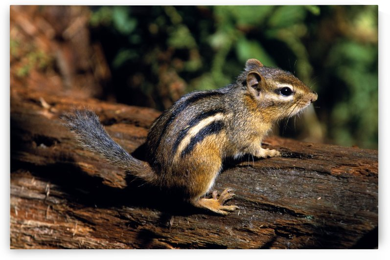 Chipmunk On A Log by PacificStock