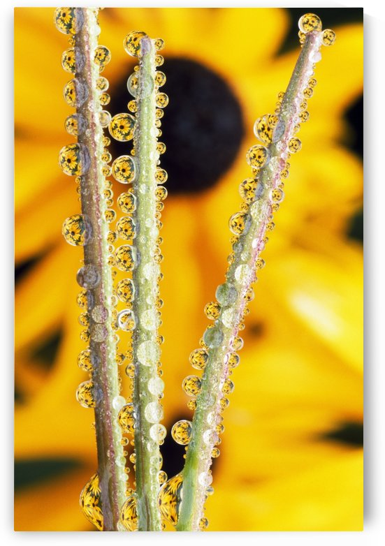 Reflection In Dew Drops by PacificStock