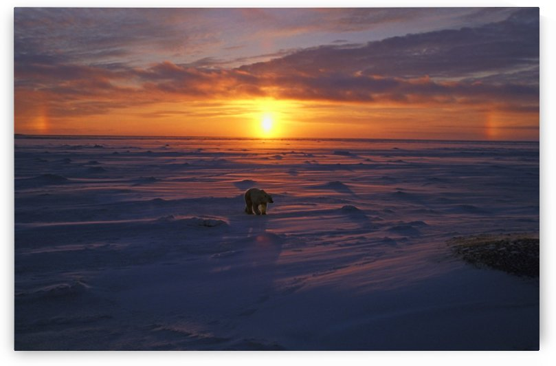 Polar Bear In Arctic Sunset by PacificStock