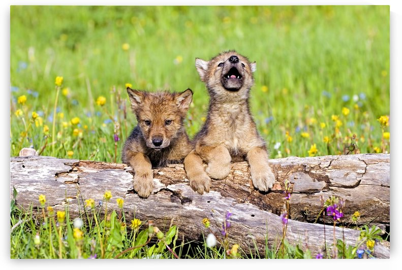 Wolf Cubs On Log by PacificStock