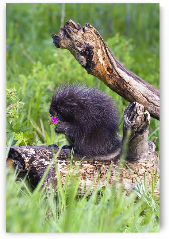 Porcupine Baby Eating Flower by PacificStock