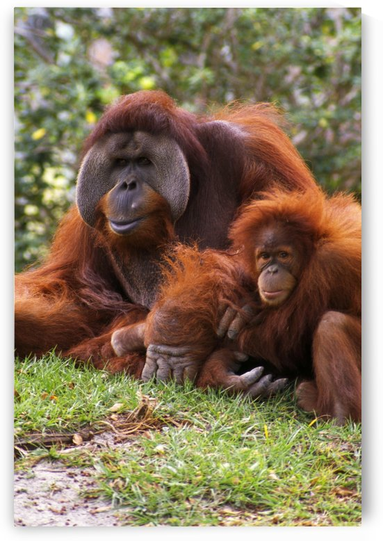 Orangutan Mother And Baby by PacificStock