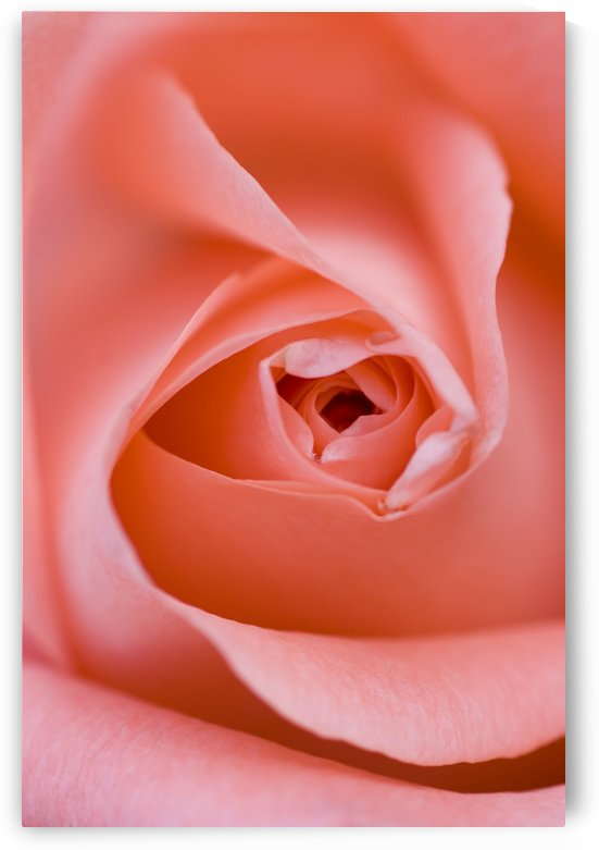 Close Up Of The Inside Of A Pink Rose by PacificStock