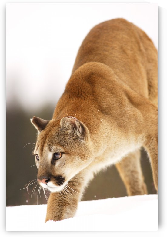 Cougar Hunting by PacificStock