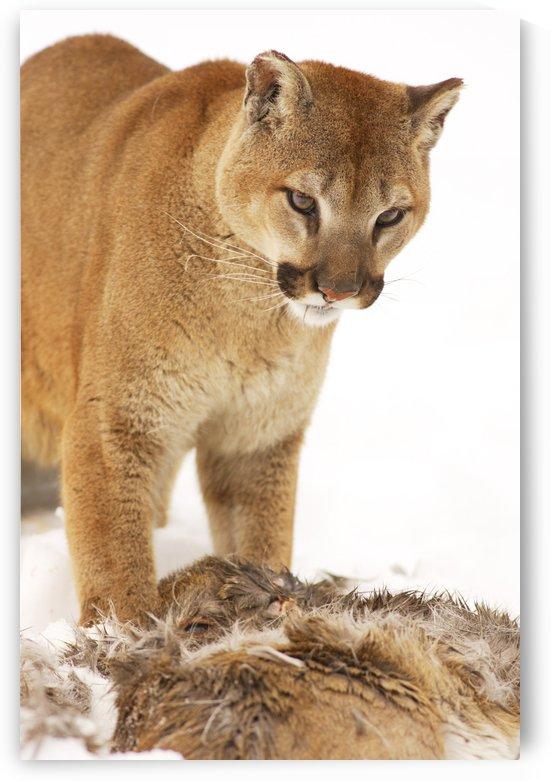 Cougar With Fallen Prey by PacificStock