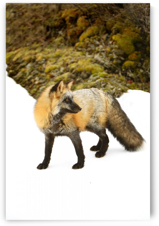 Red Fox In Snow by PacificStock