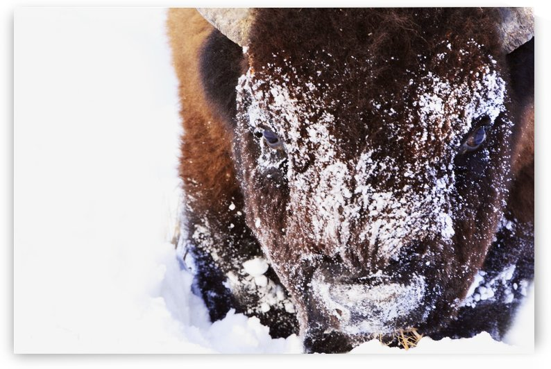 Bison In Winter by PacificStock