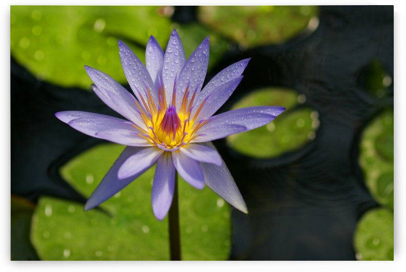 Purple Water Lily by PacificStock