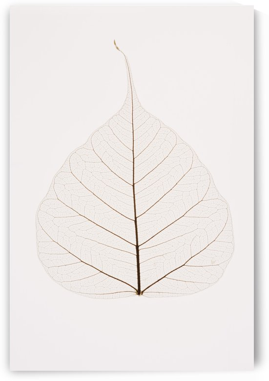 Transparent Leaf by PacificStock