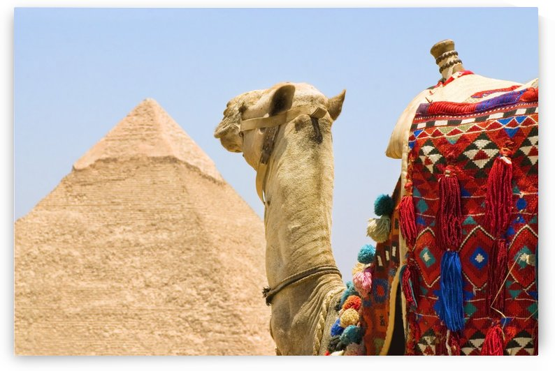 Camel Near A Pyramid, Giza, Egypt by PacificStock