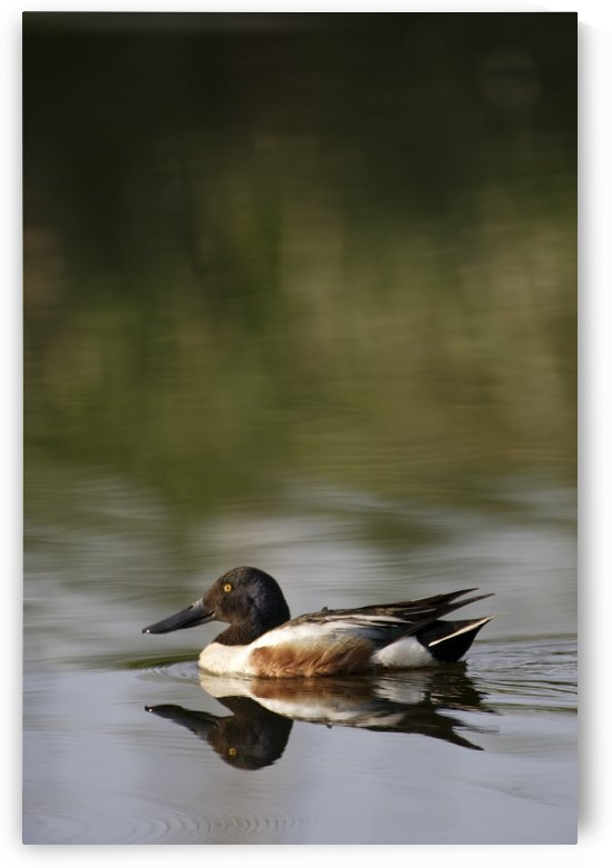 Duck On Water by PacificStock