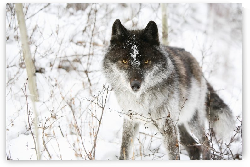 Wolf In The Snow by PacificStock