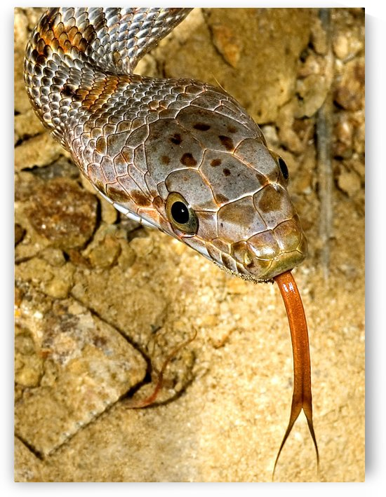 Baird's Rat Snake Tongue Flick by PacificStock